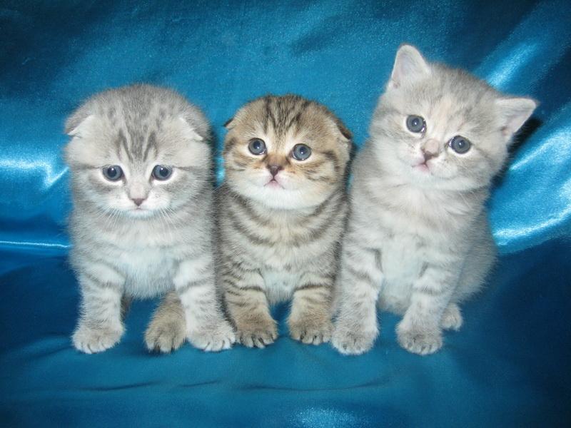 Британские коты скоттиш-страйт фото