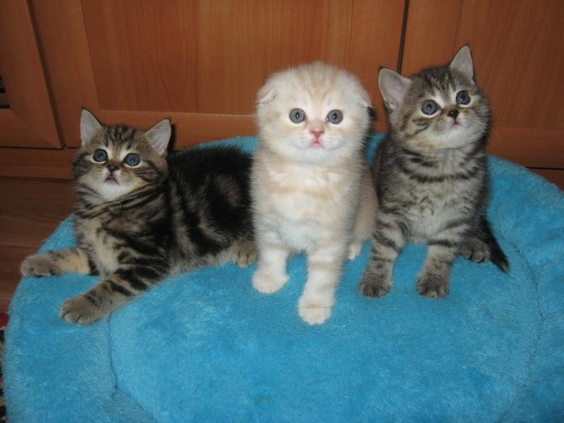 Шотландские кошки скоттиш страйт