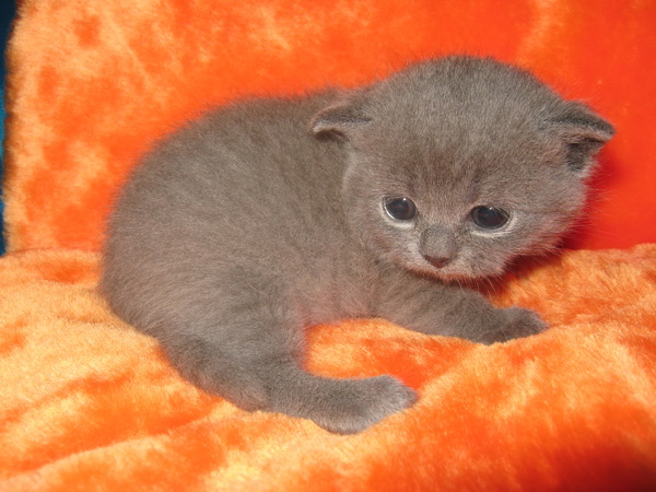 Кошка скоттиш страйт окрас голубой
