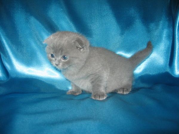 Кот скоттиш фолд окрас голубой